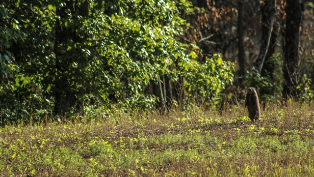 Groundhogs can cause damage to food plots