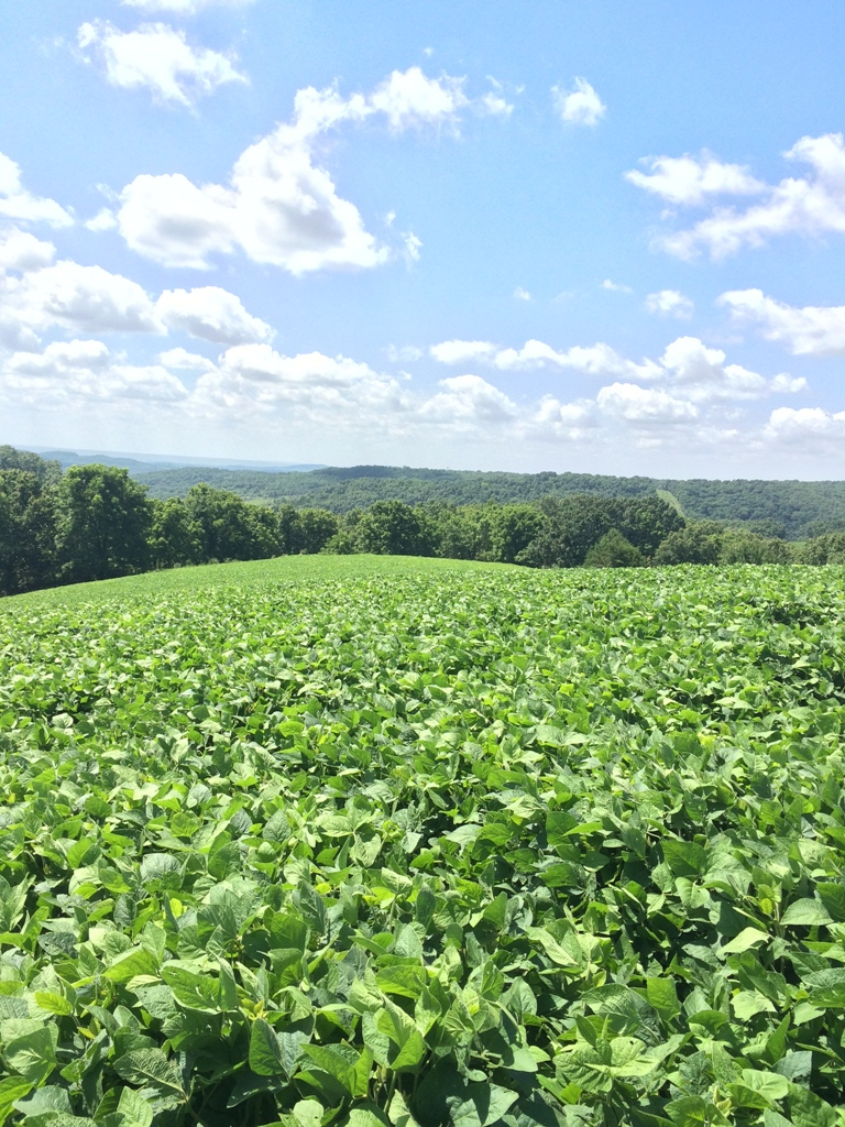 Soybean food plot crop