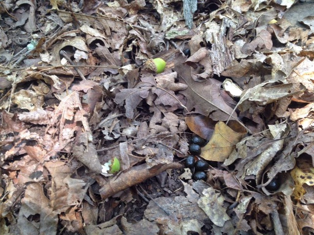 Acorns, hulls and scat on the forest floor