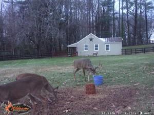 Deer feeding behind house