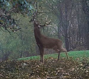 A buck making a scrape.