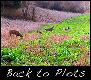 Deer in a food plot