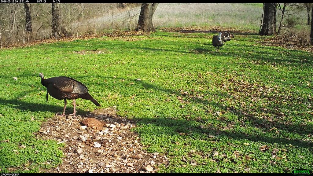 Three gobblers