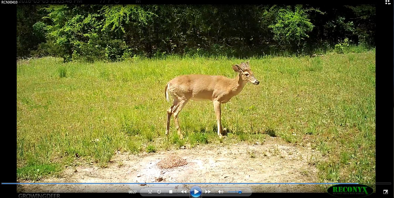 A young buck showing great antler development