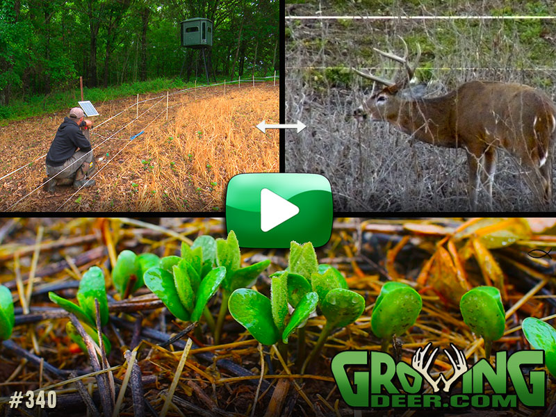 Strategies for protecting and improving our food plots in GrowingDeer episode 340.