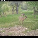 Deer grooming one another in a clover plot