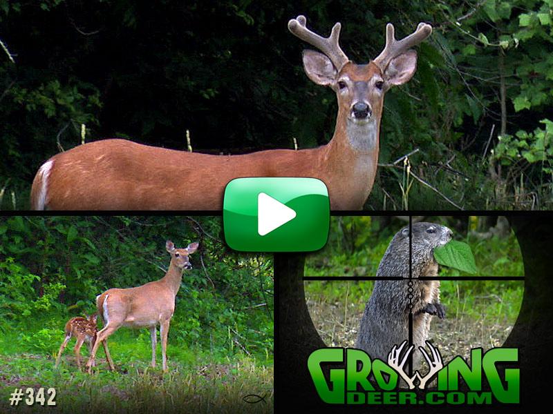 Watch GrowingDeer episode 342 Antlers In The Making