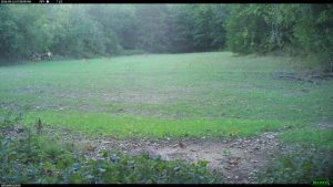 Deer in a food plot.