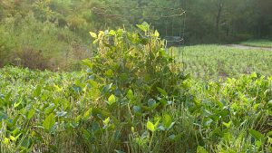 Utilization cage in a food plot