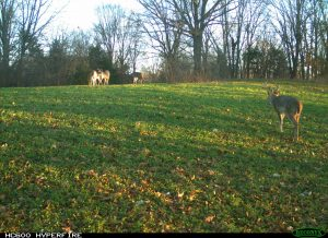 This camera was placed to overlook an entire food plot. It captured MRI of a buck we call Handy.