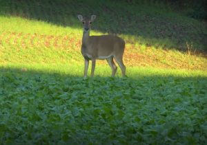 An alert doe.