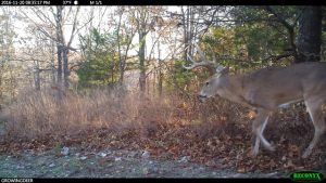 A mature buck staying close to thick cover