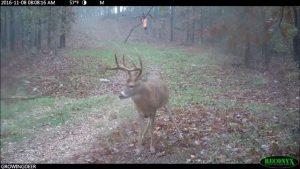A mature buck under a Tink's Scrape Bomb