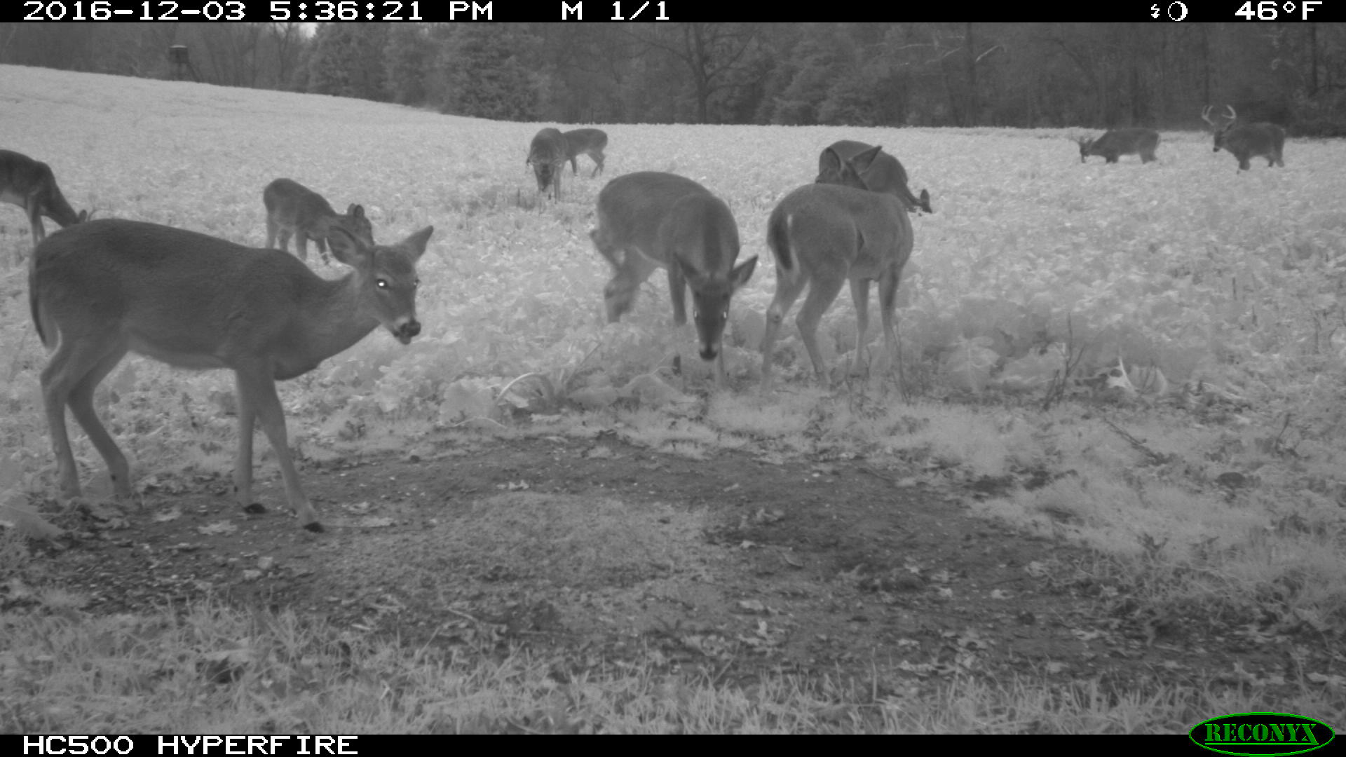 Deer in a food plot during the late season
