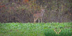 A mature buck during daylight.