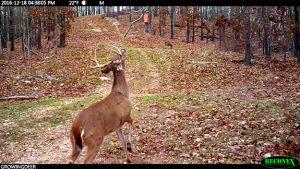 A mature buck at a scrape.