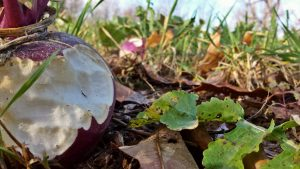 A half eaten turnip in a food plot.