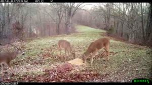 Three bucks feeding on Antler-X-Treme