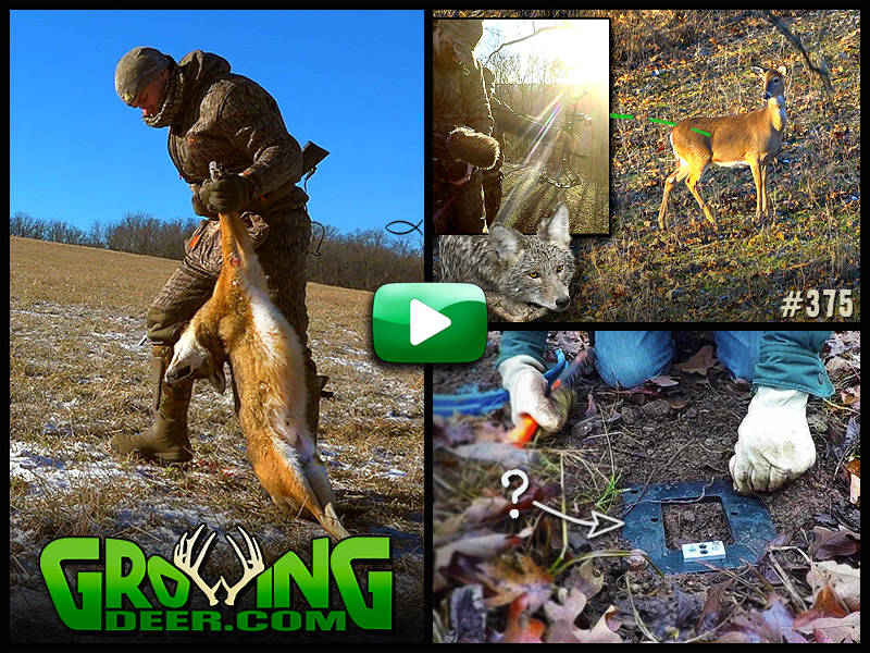 Watch how we battle local coyote populations in GrowingDeer episode 375.