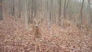 A buck looking directly at our Reconyx camera