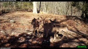 Three does at a Trophy Rock mineral station