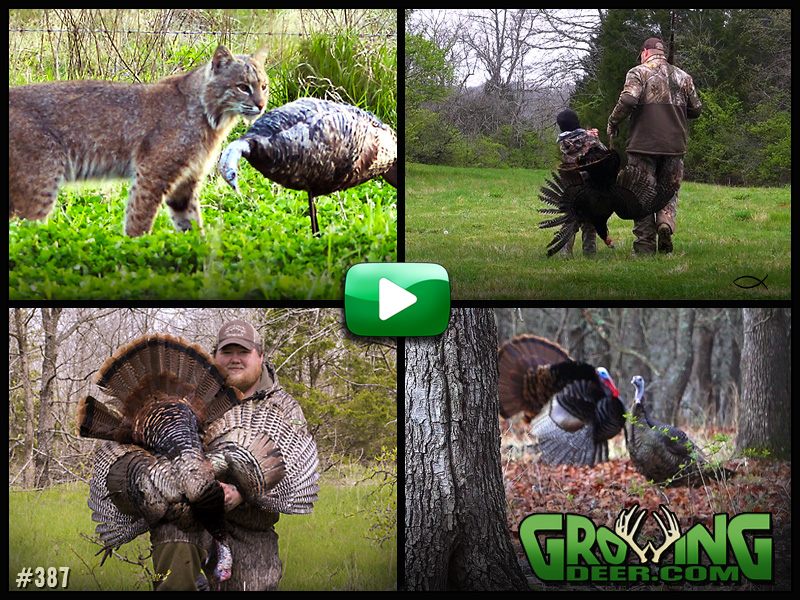 Watch as multiple turkey tags get punched in GrowingDeer episode 387.