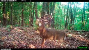 Mature buck on his feet during daylight hours