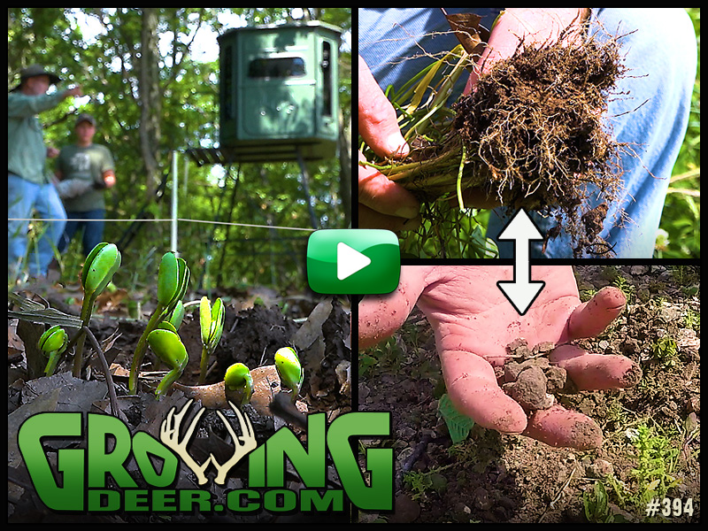 Learn food plot strategies in GrowingDeer episode 394.