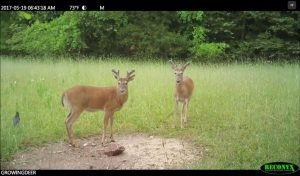 May trail camera pictures shows two bucks with antler growth