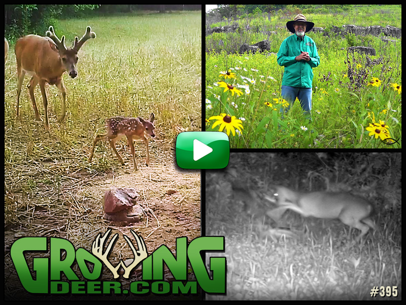 Watch GrowingDeer episode 395 to learn more food plot tips and management practices.