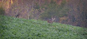 A mature buck