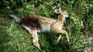 Dead fawn