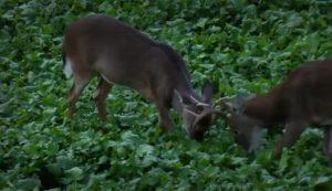 Two young bucks scuffling