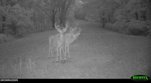 Three great looking bucks with velvet antlers