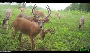 Bucks in a food plot during daylight