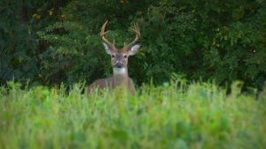 Whitetail buck head up on the alert