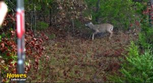 bow hunter shoots at a buck