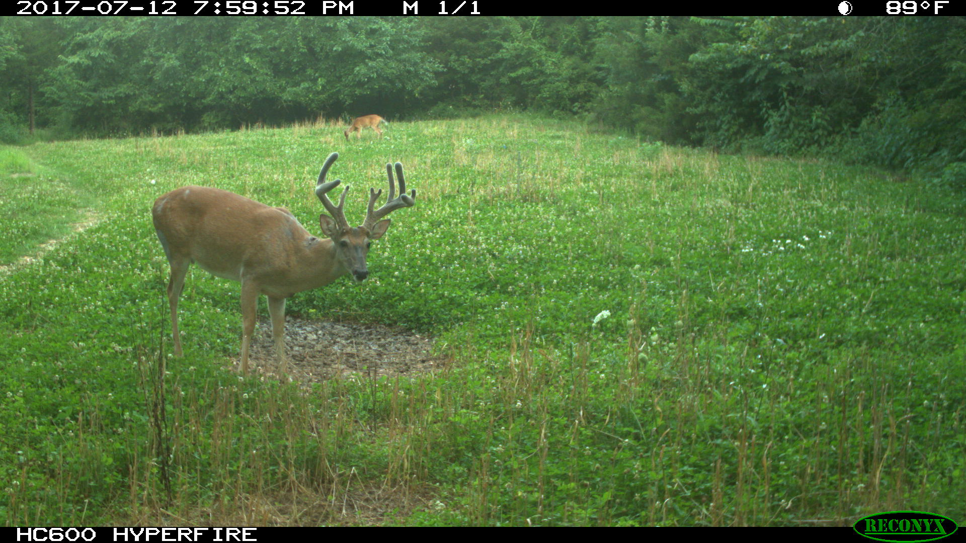 Mature buck in a food plot