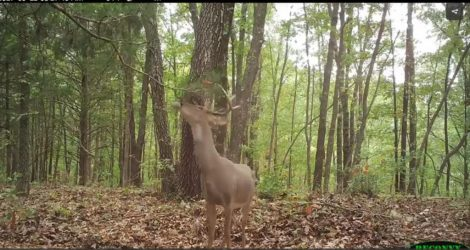 A buck using a scrape