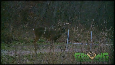 A buck walks through a gap in a Hot Zone fence