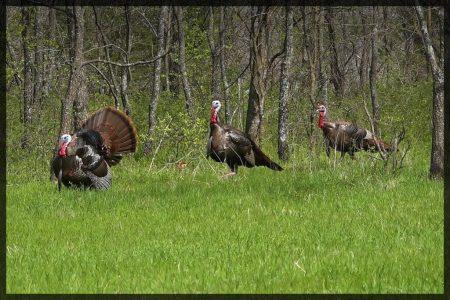 Longbeard turkeys