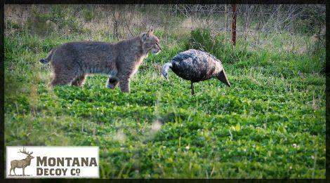 Bobcat gets close to a Montana Decoy
