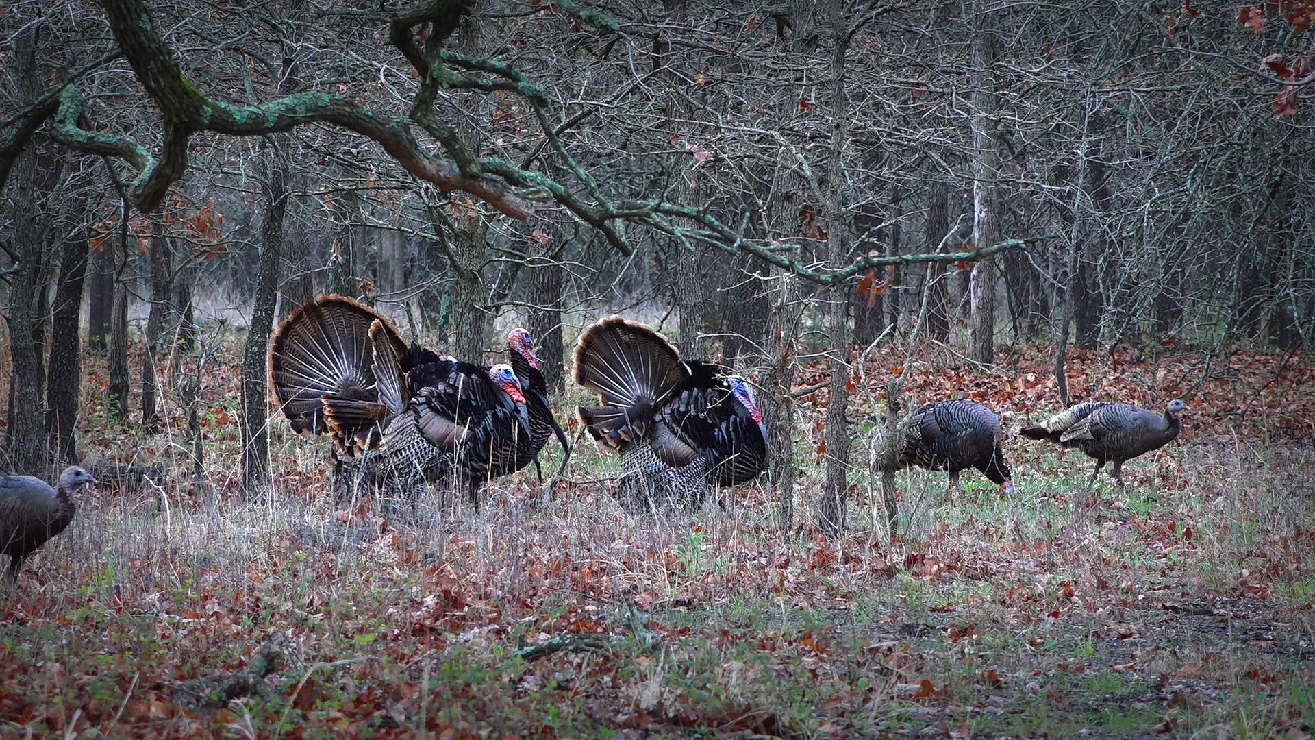 tom turkeys with hens in woodland setting
