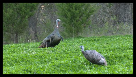 Montana decoy set up for turkey hunting