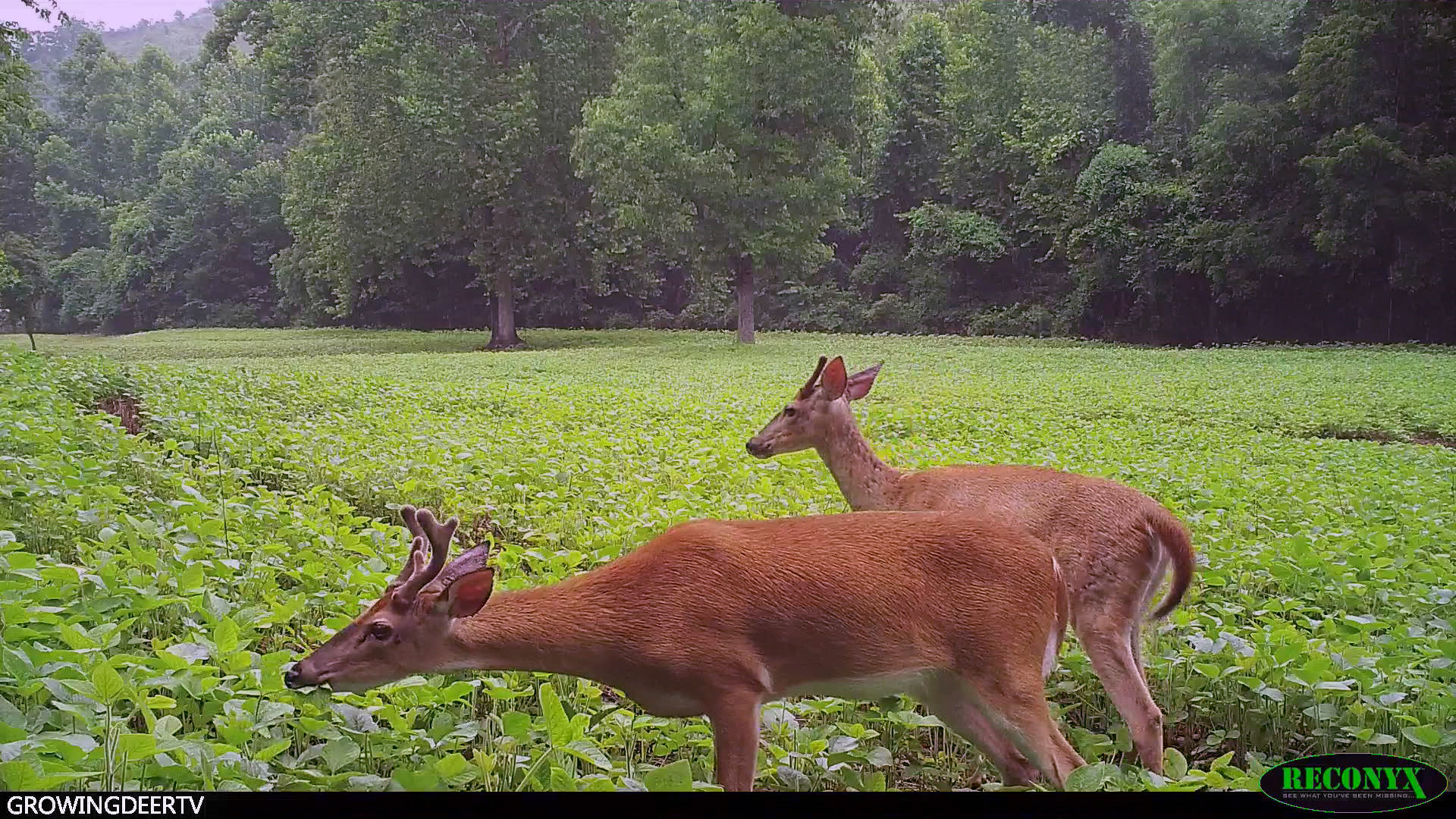 velvet bucks in soybeans