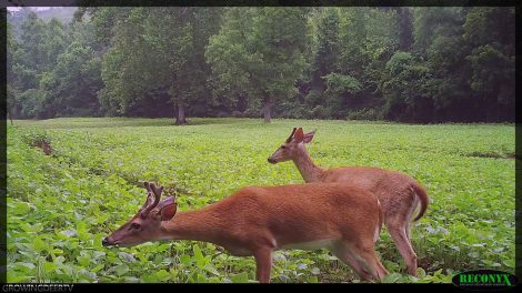 Velvet bucks in Eagle Seed forage soybeans