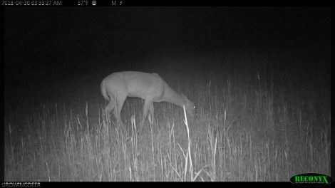 Deer eating clover in a food plot
