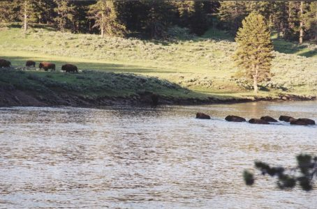 Buffalo crossing river in yellowstone NP