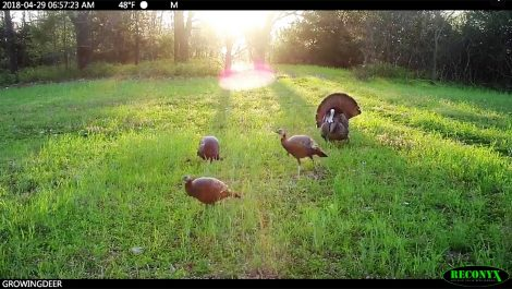 turkeys strutting in the sun
