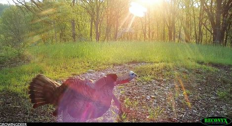 tom turkey gobbling in the sun